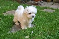 REGALO Bichon Maltes Mini Toy Para Adopcion Adorables