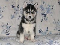 Siberian husky cachorros gratuito buen macho y el hogar femenina.