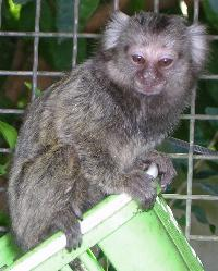 Mono titi de pincel blanco, cria