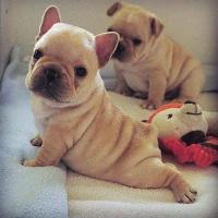 Camada bulldog frances