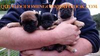 Cachorros pug muy saludables listos para sus nuevos hogares
