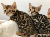 Lindo gatito de bengala para adopción