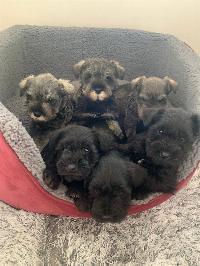 Cachorros de raza schnauzer miniatura