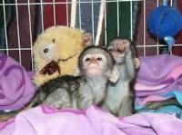 Venta de 2 bebé capuchinos soltero muy saludable.