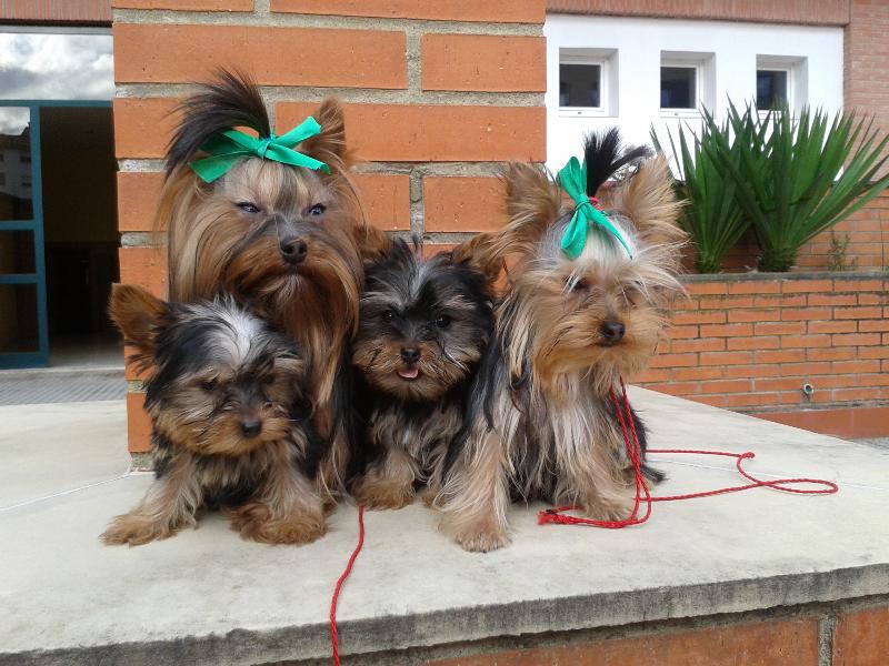 Vendo  : últimos  cachorros YORKSHIRES  enanos , muy