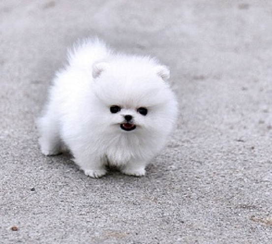 Regalo lindo mini pomeranian toy lulu cachorros para