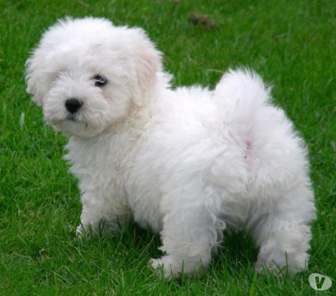 Preciosos Cachorritos de Bichon Maltese 100% puros