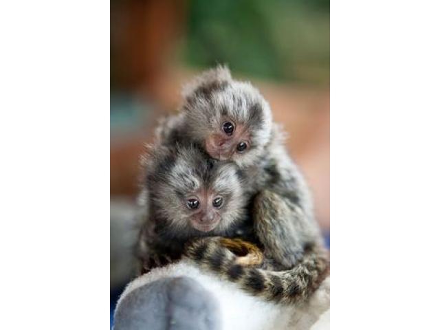 Capuchino adorable y tití pigmeo Capuchino adorable