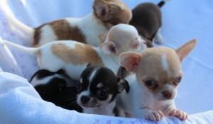 Aquí está Bella cachorro, pedigrí sin papeles, nacido
