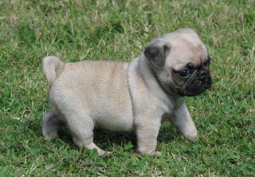 Impresionantes cachorros Carlino disponibles para