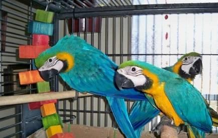 Regalo guacamayos macho y hembra