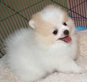 Lindos cachorros Pomerania