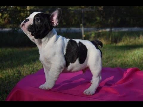 Regalo cachorros  Bulldog Frances  - Foto 3