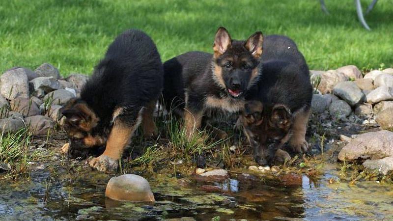 Lindos cachorros pastor Aleman para adopcion