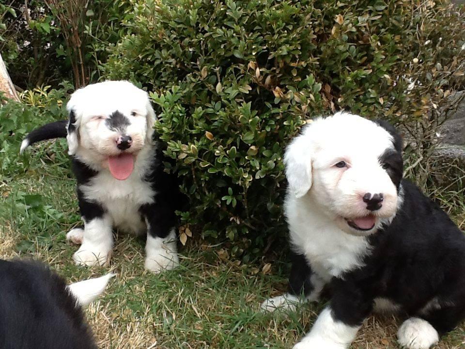 Cachorros de bobtail muy cariñosos  - Foto 2