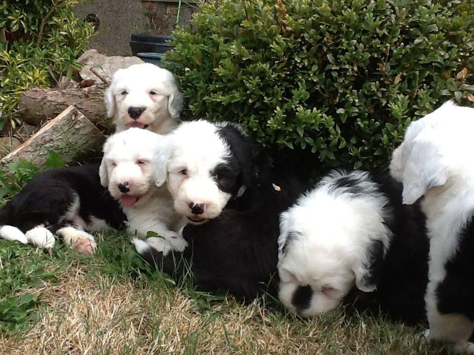 Cachorros de bobtail muy cariñosos  - Foto 1