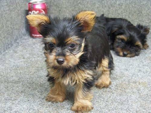 Cachorros de YORKIE - para adopcion 22....tey