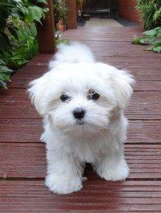 Lindo cachorros Bichon Maltes Mini Toy Para Adopcion/