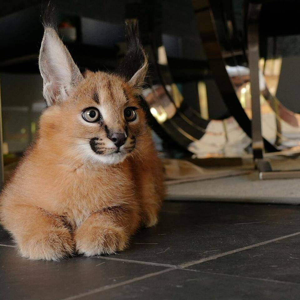 Serval, Savannah y caracal gatitos.