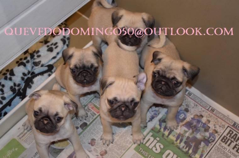 Cachorros pug muy saludables listos para sus nuevos hogares  - Foto 2