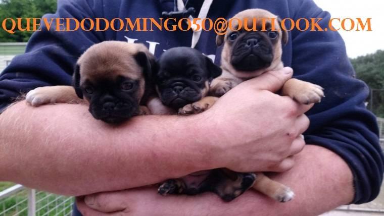 Cachorros pug muy saludables listos para sus nuevos hogares  - Foto 1