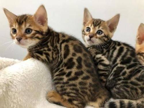 Lindo gatito de bengala para adopción  - Foto 1