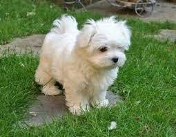 Regalo Mini Toy Cachorros Bichon Maltes para su adopcion  - Foto 1