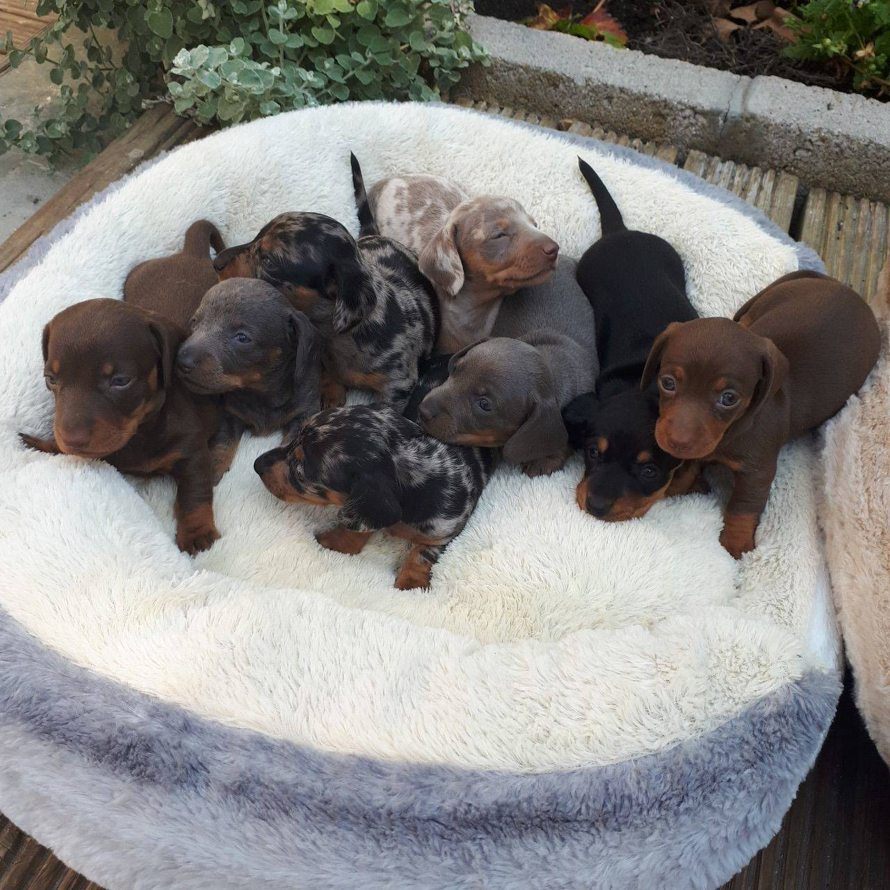 Cachorritos de teckel miniatura pelo corto  - Foto 3
