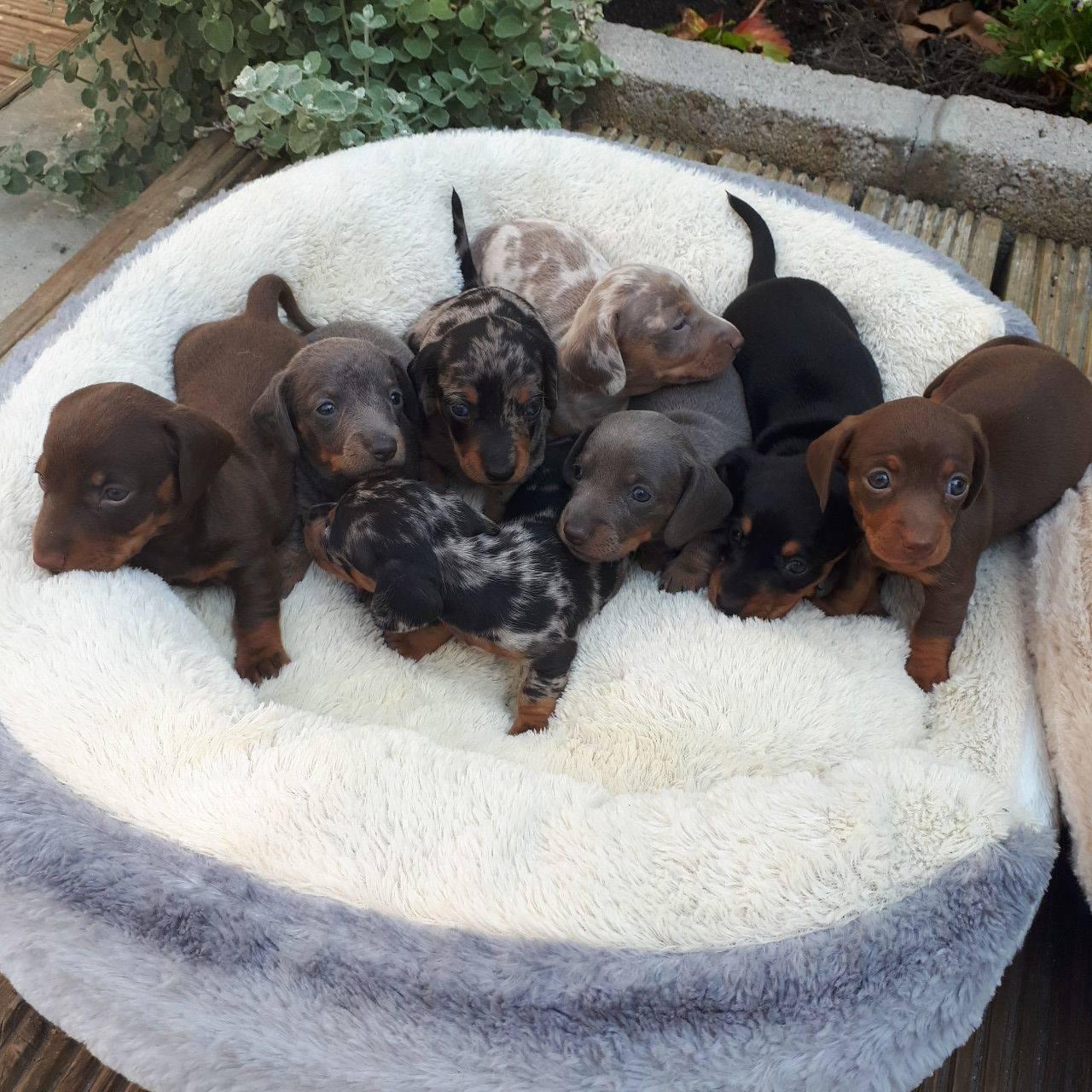 Cachorritos de teckel miniatura pelo corto  - Foto 1