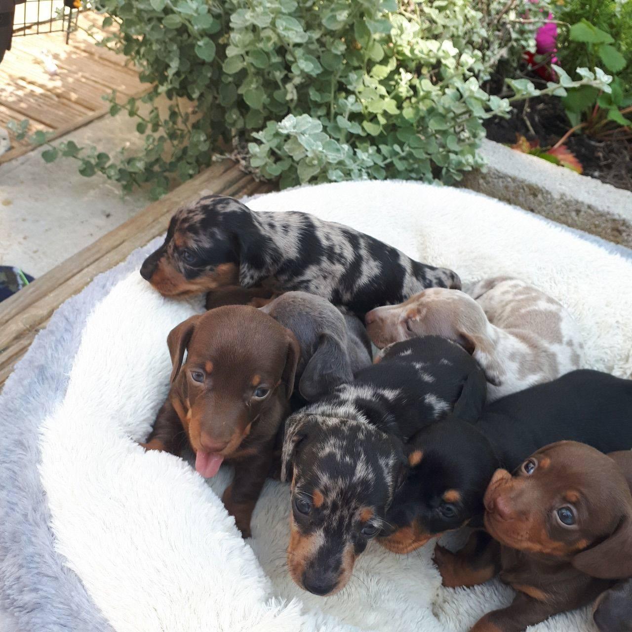 Cachorritos de teckel miniatura pelo corto  - Foto 2